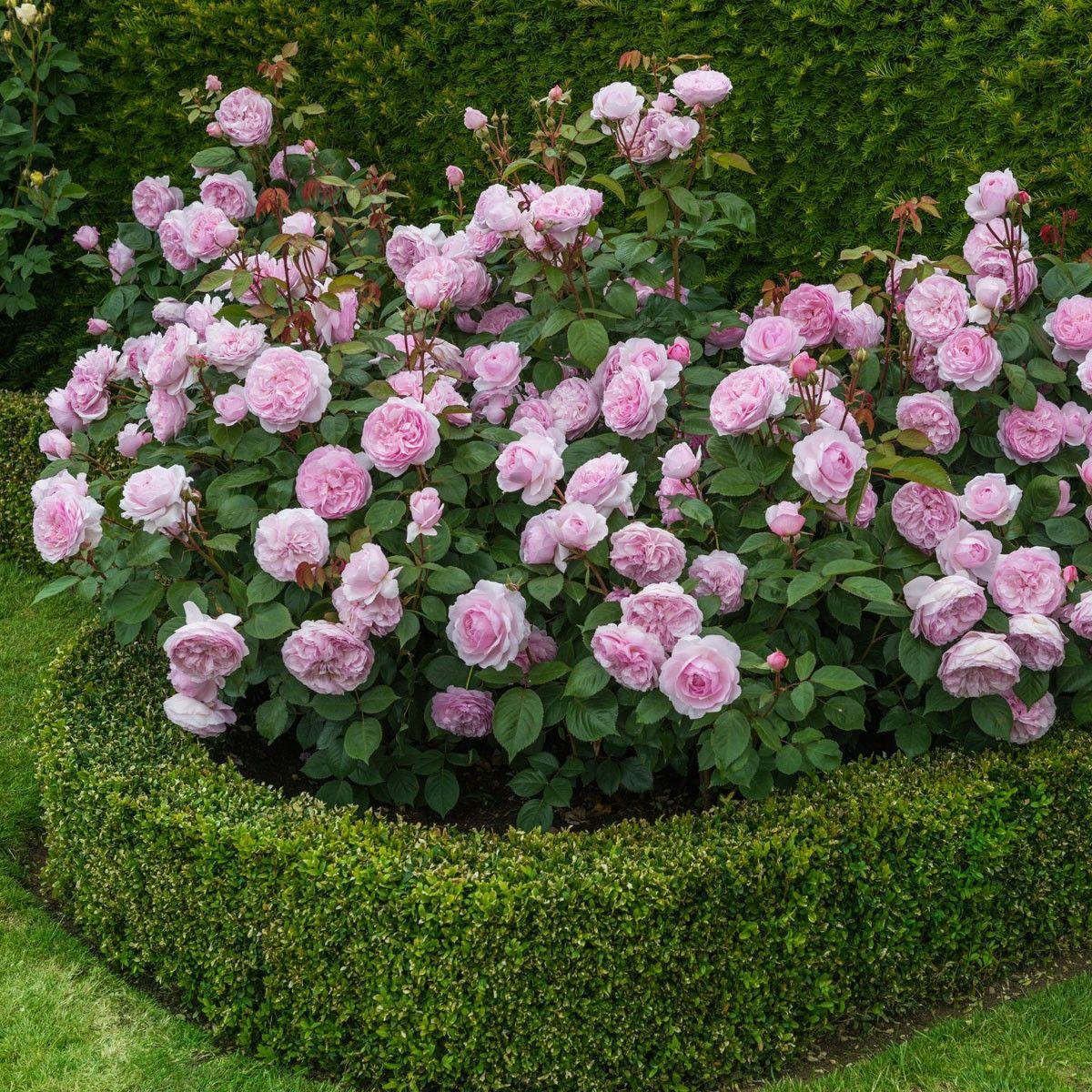 David Austin roses at West Coast Gardens in Surrey BC