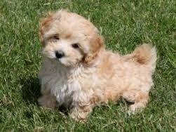 Teacup Shih Poo Full Grown Google Search Teddy Bear Dog Bear