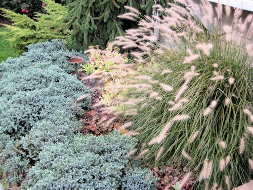 Blue star juniper dwarf fountain grass and weeping norway for Blue fountain grass
