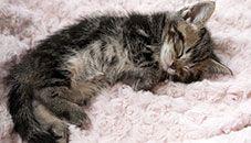 Desktop Themes Kittens Cutest Sleepy Kitten Kitten Wallpaper