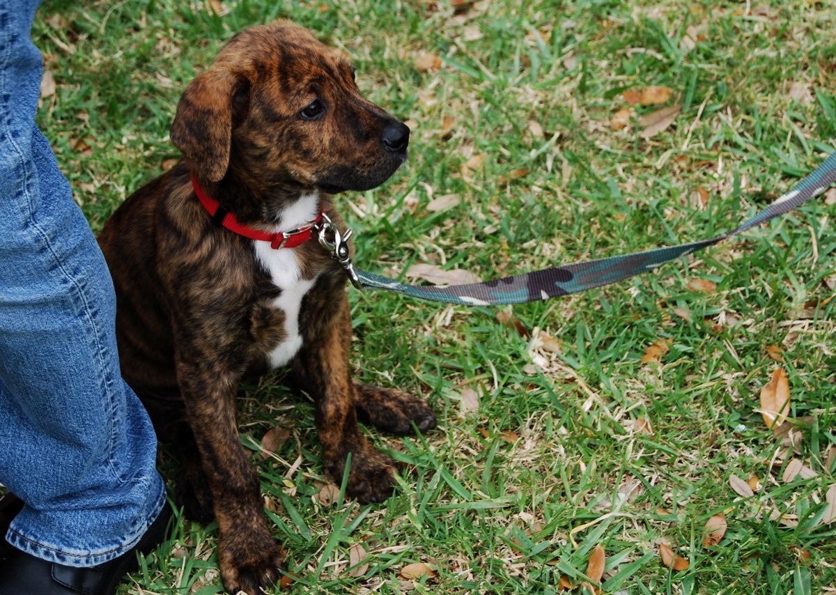 Dog Pictures Cute Little Brindle Puppy Dog Puppies Boston
