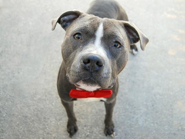 Rugby A1096796 Manhattan Please Share To Be Destroyed 11 27 2016 A Volunteer Writes Rugby Is Part Of The Shy Dogs Club Dog Club Dog Adoption Dog Mommy