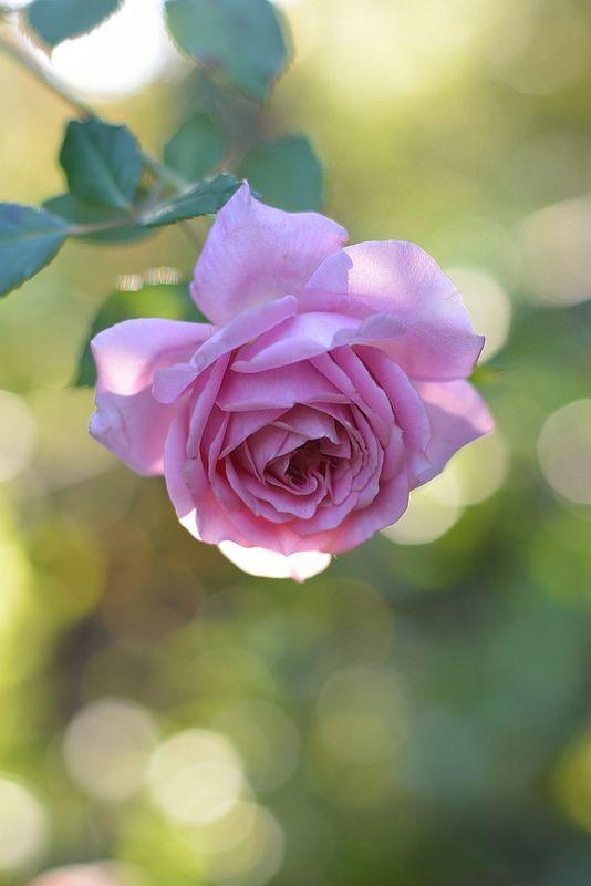~Rosa 'Robe à la française'