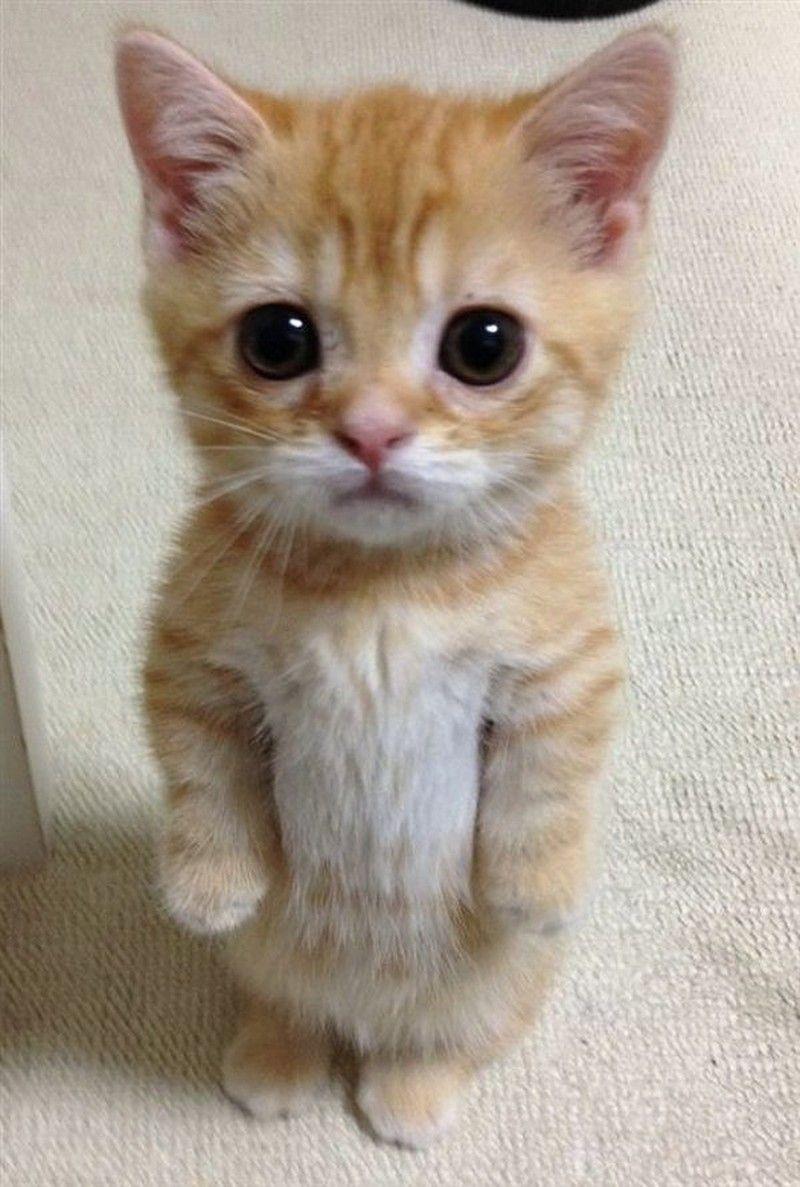 Most Adorable Kitten Kittens Pinterest