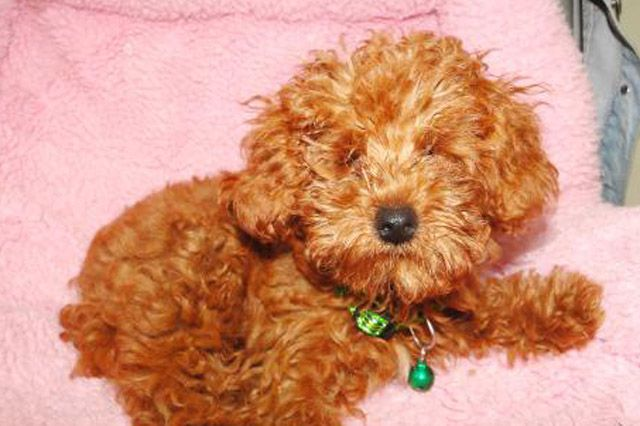 Dog Born Without Eyes Is Victim Of China S Red Poodle Fad Poodle