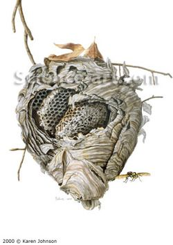 Wasps Nest Repinned By Www Mygrowingtraditions Com Anatomical Heart Art Scientific Illustration Wasp Nest