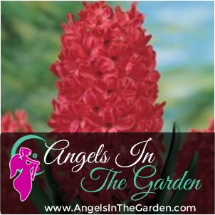 Crimson Red Hyacinth Bulb-This is one stunning flower you don't want to miss out on. It doesn't matter if you have a large flower bed or a nice window box. www.AngelsInTheGarden.net #bulb #flower #red #spring #growing #garden