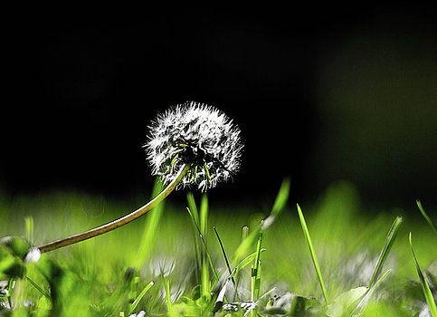 Dandelion under the sun by Olga Olay #OlgaOlayFineArtPhotography #ArtForHome #FineArtPrints #Flower