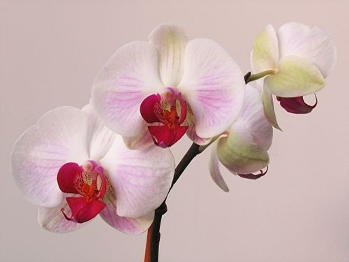 White Orchid Art Print By Juergen Roth Orchids White Orchids Flowers Photography