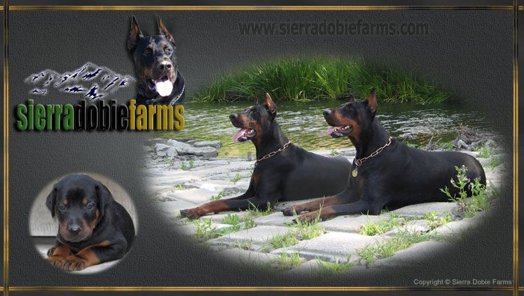 Doberman Puppies For Sale Sierra Dobie Farms Http Www