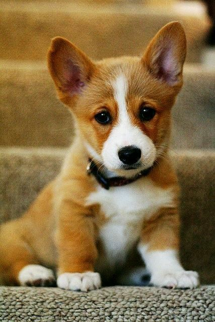 Pin By Chris Bristol On Corgi Puppies Cute Cats And Dogs Cute