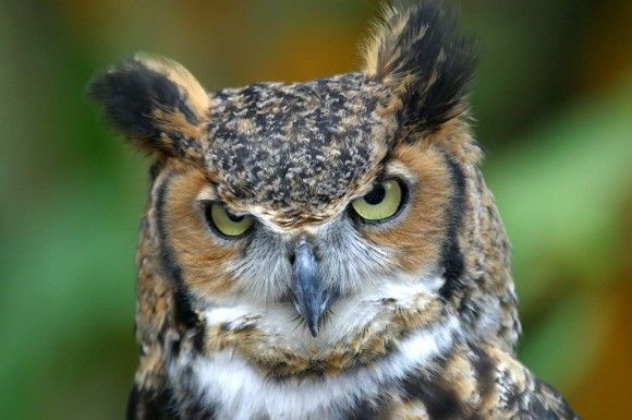 Funniest Owl Video Ever! (With images) | Owl, Horned owl ...