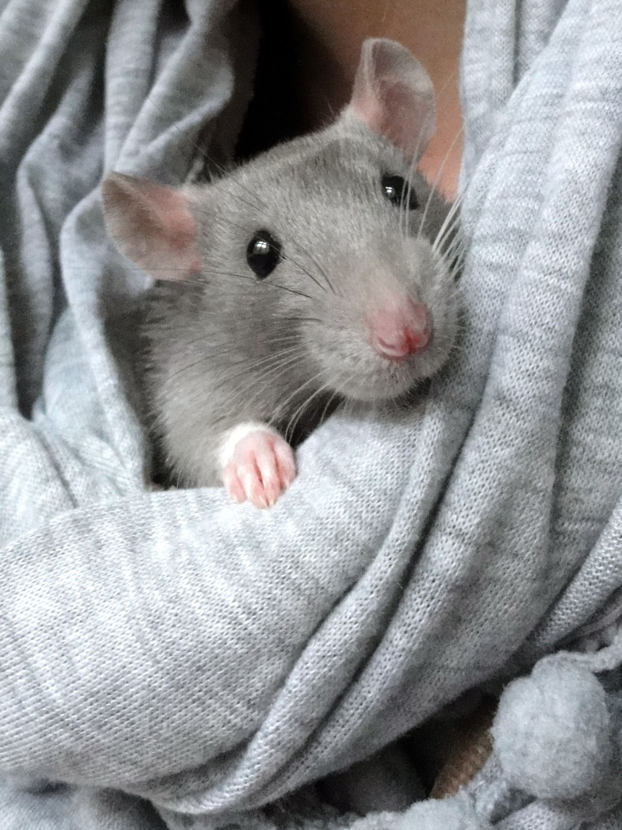 Pet Rodents Cute Rats Cute Baby Animals