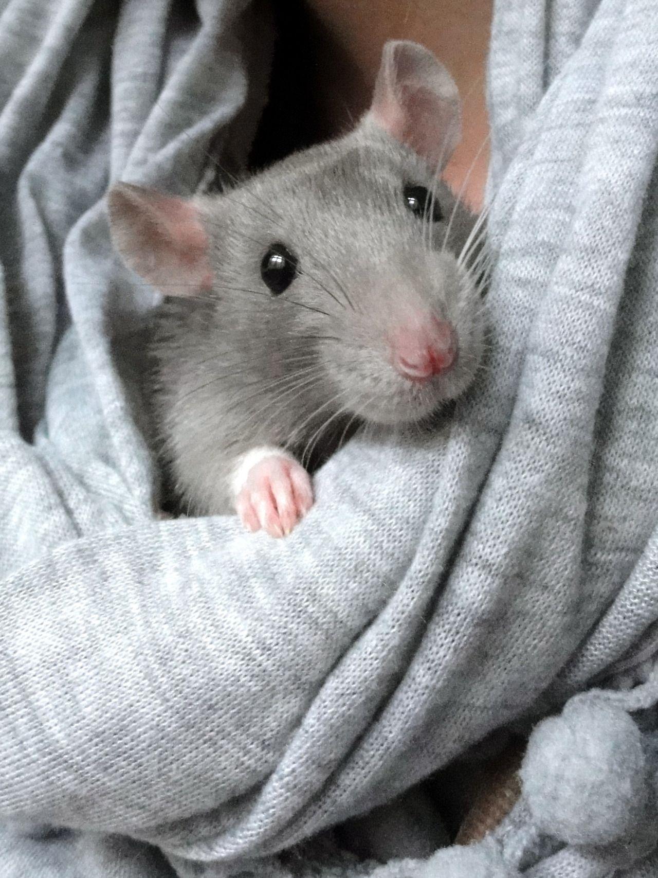 Cute Ratties