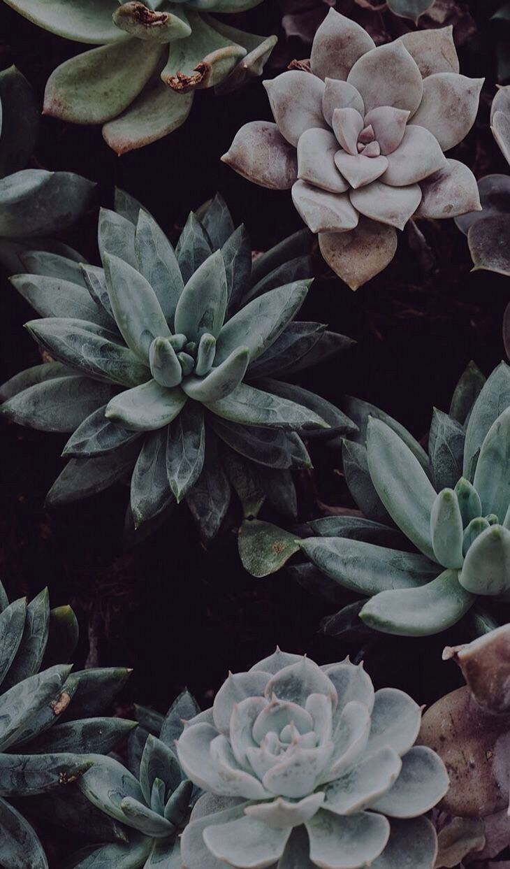 Succulents wallpaper Dark mood. Echeveria Thực vật