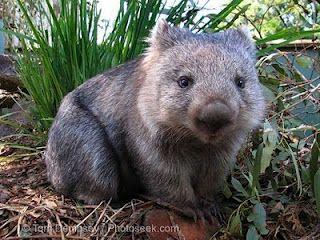 That's it! I want a Wombat