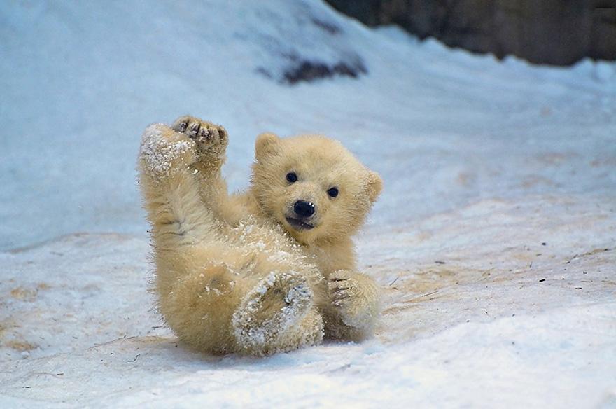 Yoga Practice In 2020 Baby Polar Bears Polar Bear Cute Polar Bear