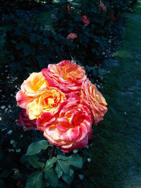 Розы в саду роз