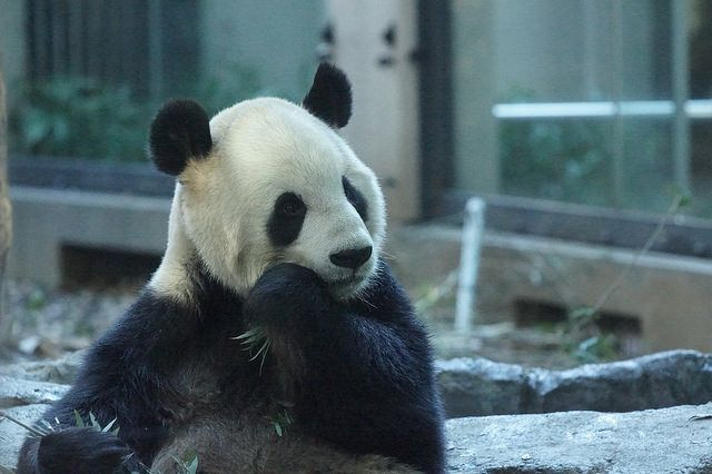 Ri Ri (力力) 2015-11-28 by kuromimi64 on Flickr. | Pandas NEED our LOVE