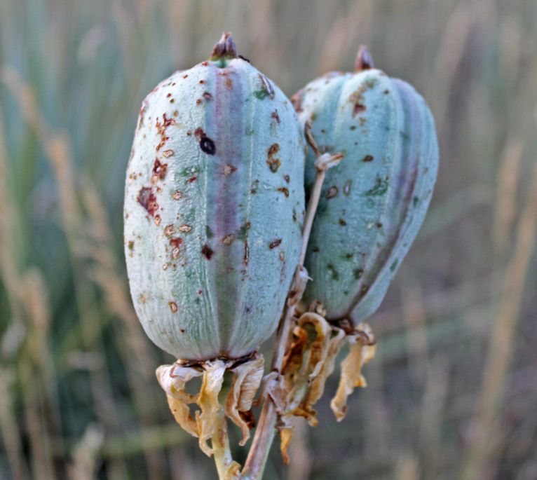 Pods, Seeds, And Nuts