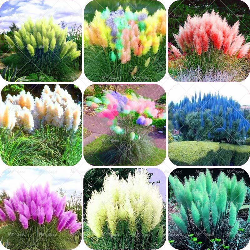 500 개/가방 pampas garss, pampas 씨앗, pampas 잔디 공장, 장식 식물 꽃 Cortaderia Selloana 잔디 씨앗 홈 정원