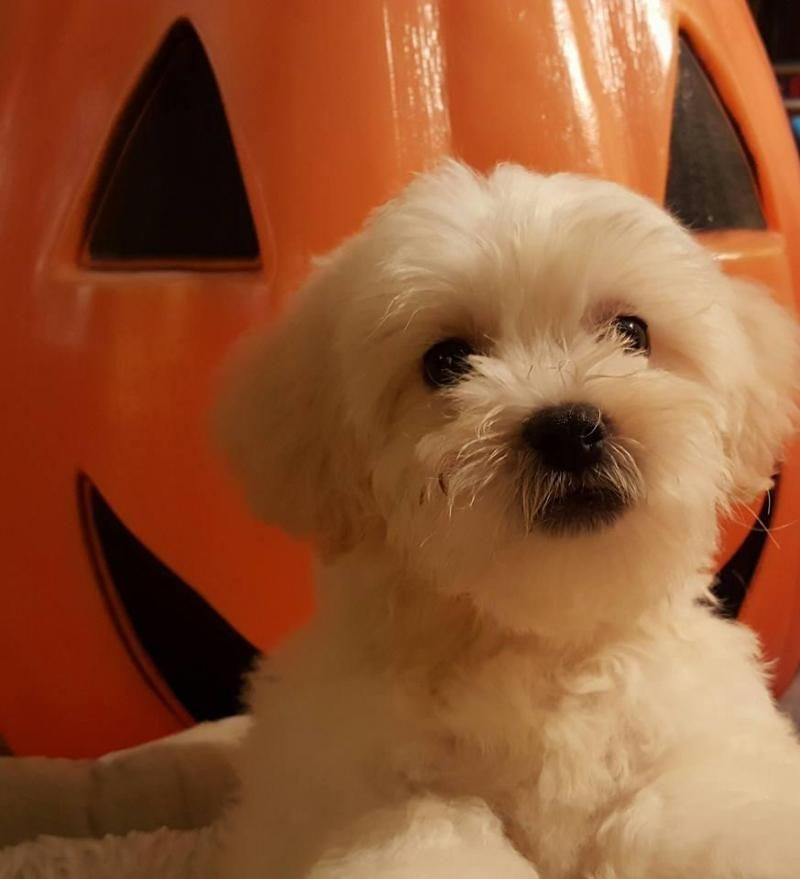 Meet JACKO, an adoptable Bichon Frise looking for a forever home. If you're looking for a new pet to adopt or want information on how to get involved with adoptable pets, Petfinder.com is a great resource.