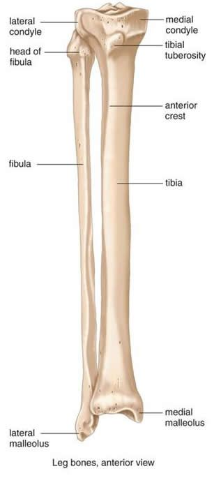 Tibia And Fibula Diagram Google Search Anatomy 1 Pinterest