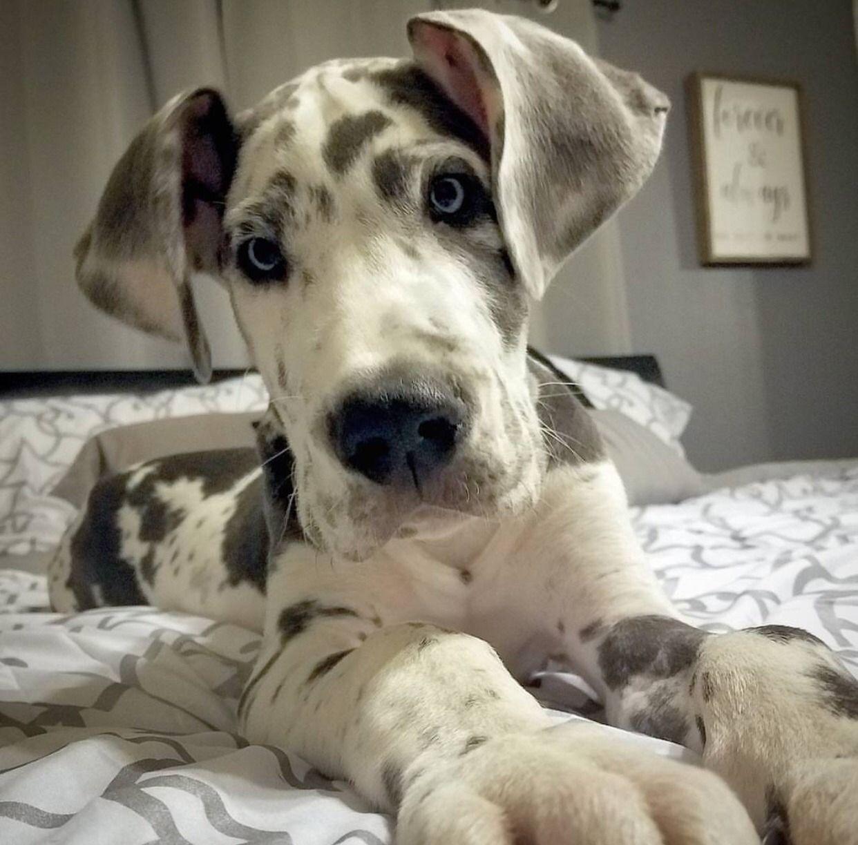 That Face Animals Great Dane Puppy