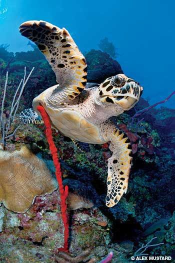 Hawksbill Turtle on the sponge-rich North Wall, Grand Cayman (diving article with more photos attached)