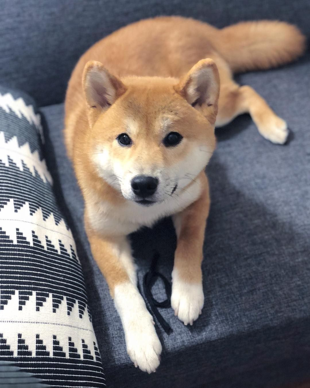 Pin By Wilson On Dogs Shiba Inu Japanese Dogs Japanese Dog Breeds