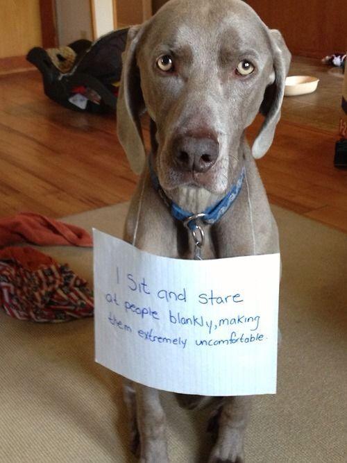 Dog Shaming Weimaraner Animal