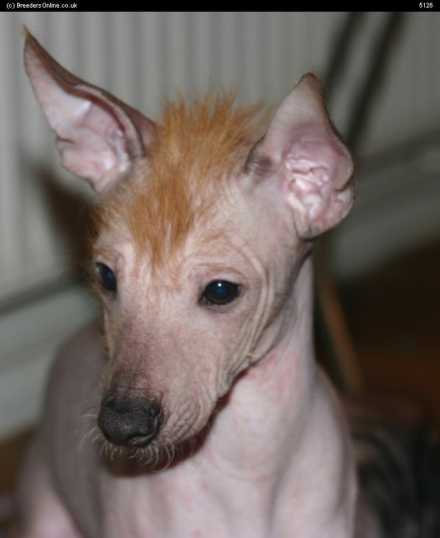 Mexican Hairless Dog Xolo For Short With A Natural Mohawk Remember To Put On Sunblock Before You Leave The House Little Guy