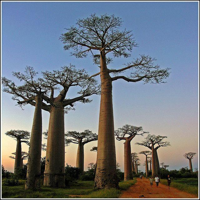 beautiful Baobad trees in Madagascar