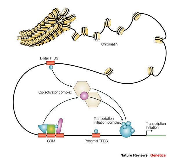 activator in gene expression