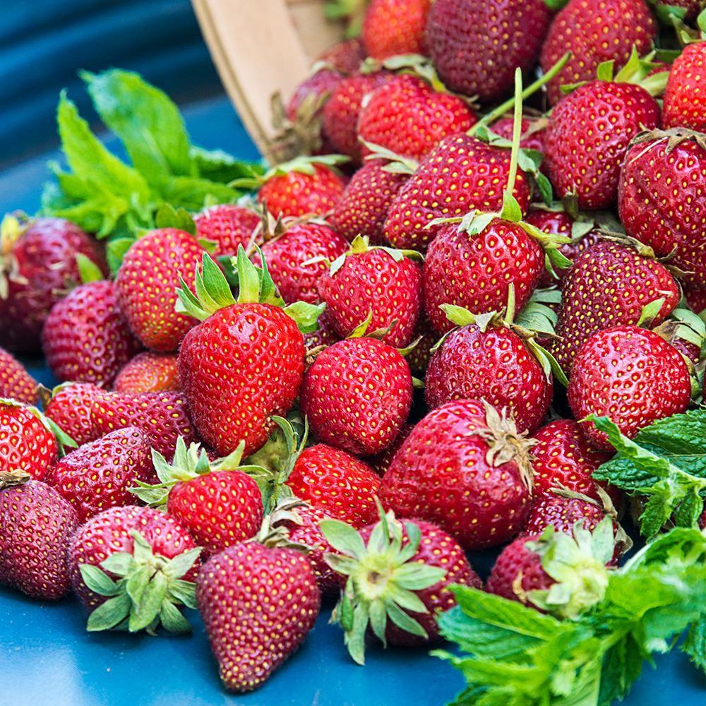 Gurneys honeoye junebearing strawberry plants 10pack