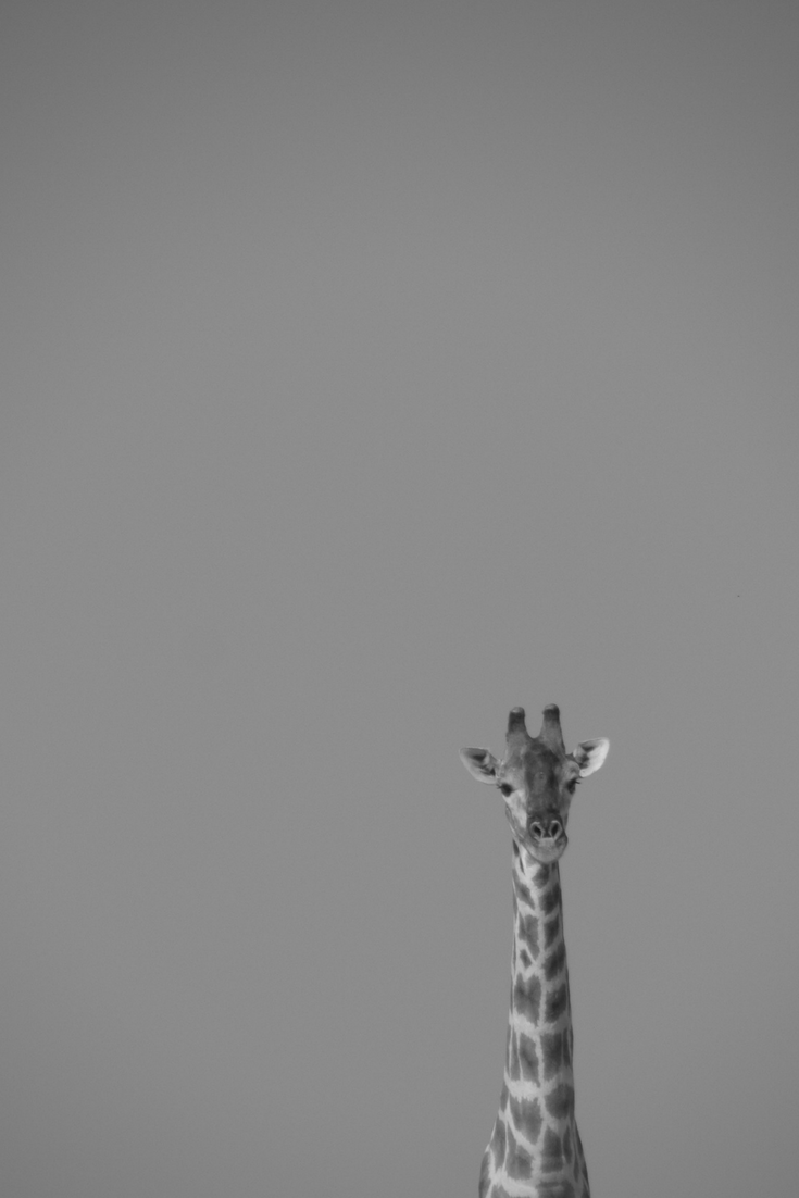 Giraffe art print beautiful black u white photography for your