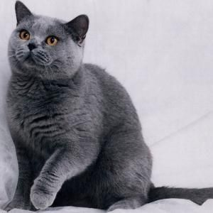 Azul ruso.El origen de los gatos azul ruso no es del todo cierto, al igual que tampoco lo está su nombre. Lo que sí sabemos es que son gatos pacíficos, cariñosos y muy apegados a sus dueños. Son gatos poco juguetones ideales para tener como mascota.