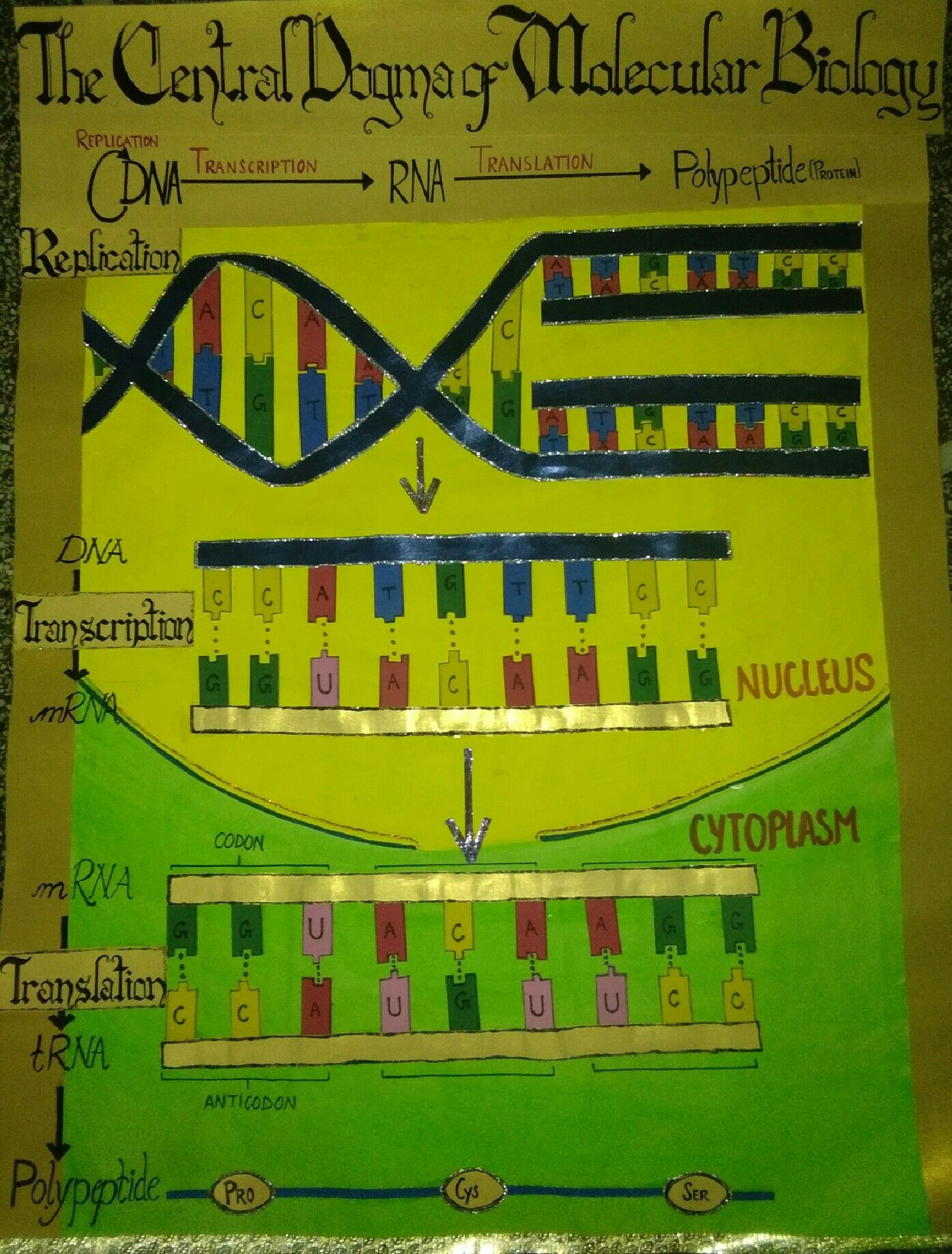 Project On Central Dogma Of Molecular Biology Made By Royals K Central Dogma Molecular Biology Biology Projects [ 1838 x 1395 Pixel ]