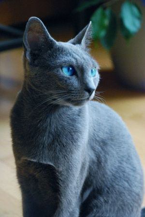 Blue Gray Cat With Blue Eyes Russian Blue Cat Grey Cats Russian Blue