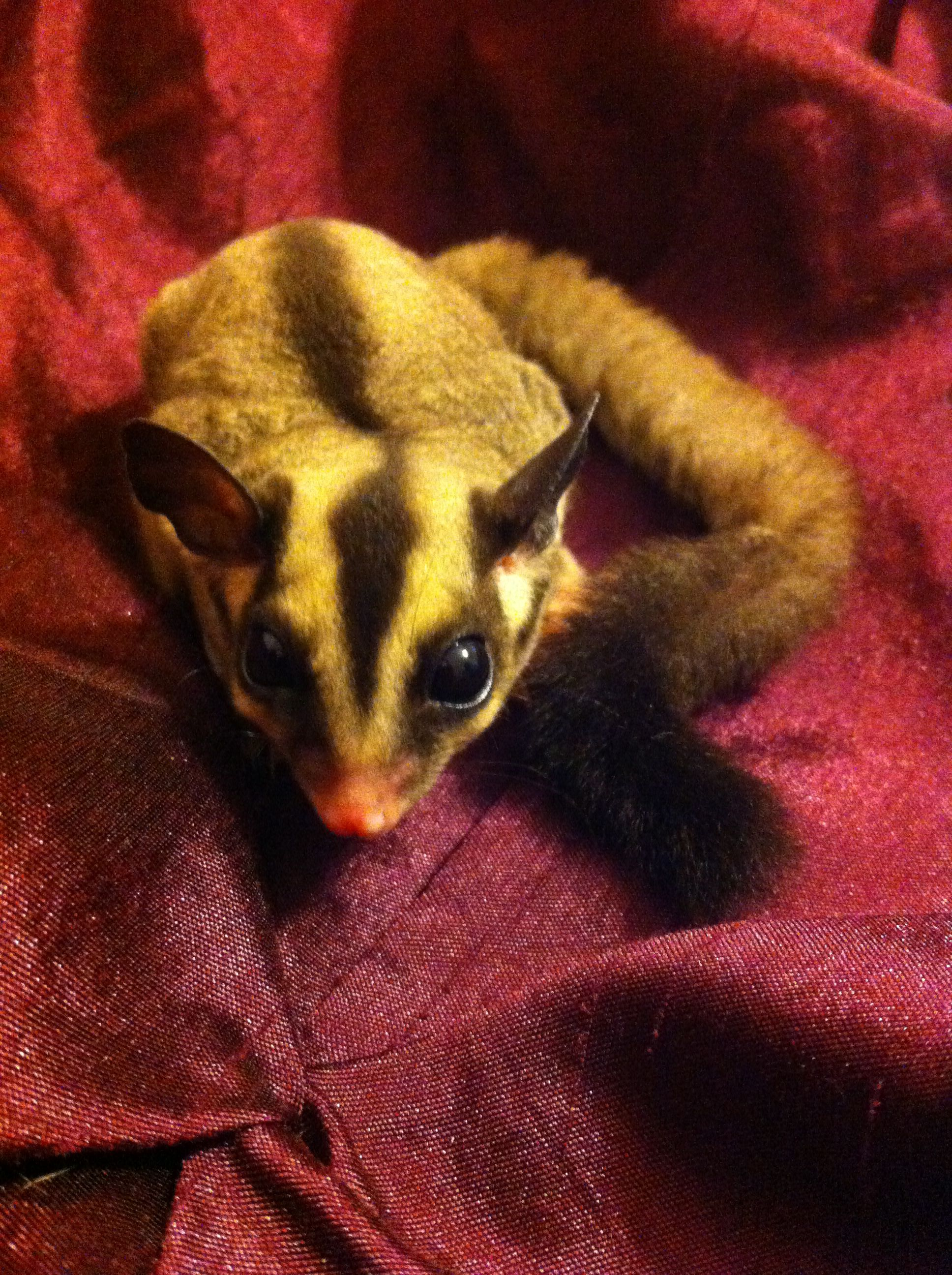 Pin on Sugar Gliders and Guinea Pigs