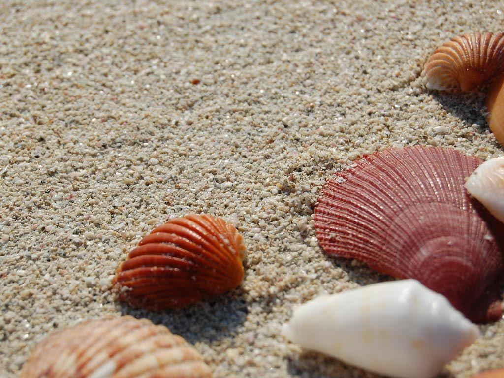 Seashells wallpaper 24 - Sea Shells Desktop Nature Wallpapers Seashells Desktop Background Wallpaper