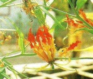 Superb Lily Superb De Malabar Crisped Glory Lily Tanaman Sungsang Tanaman Kembang Sungsang Bunga