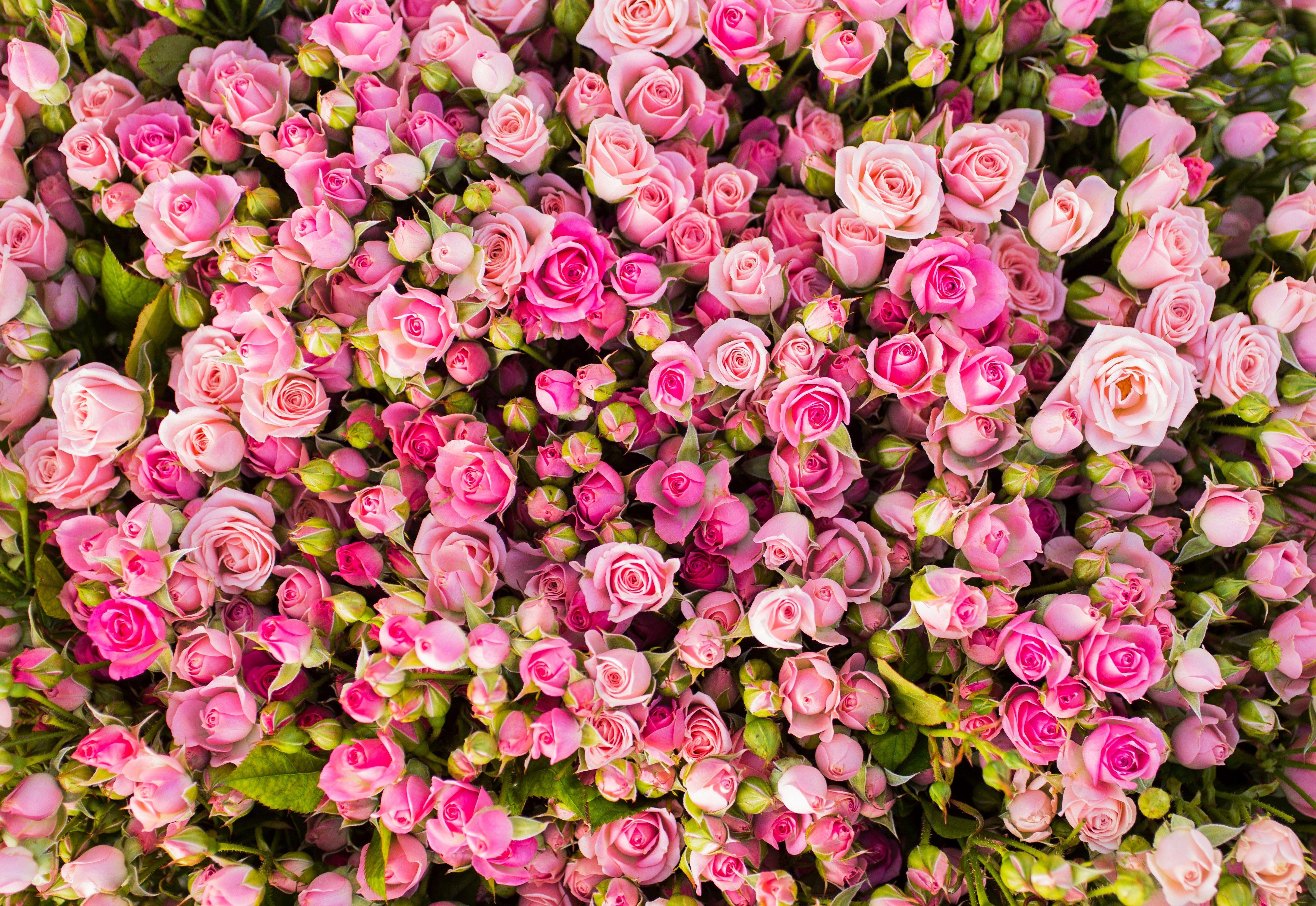 Haven Kingsman Rose Macbook Wallpapers Hd 4429x3049 Px Rose