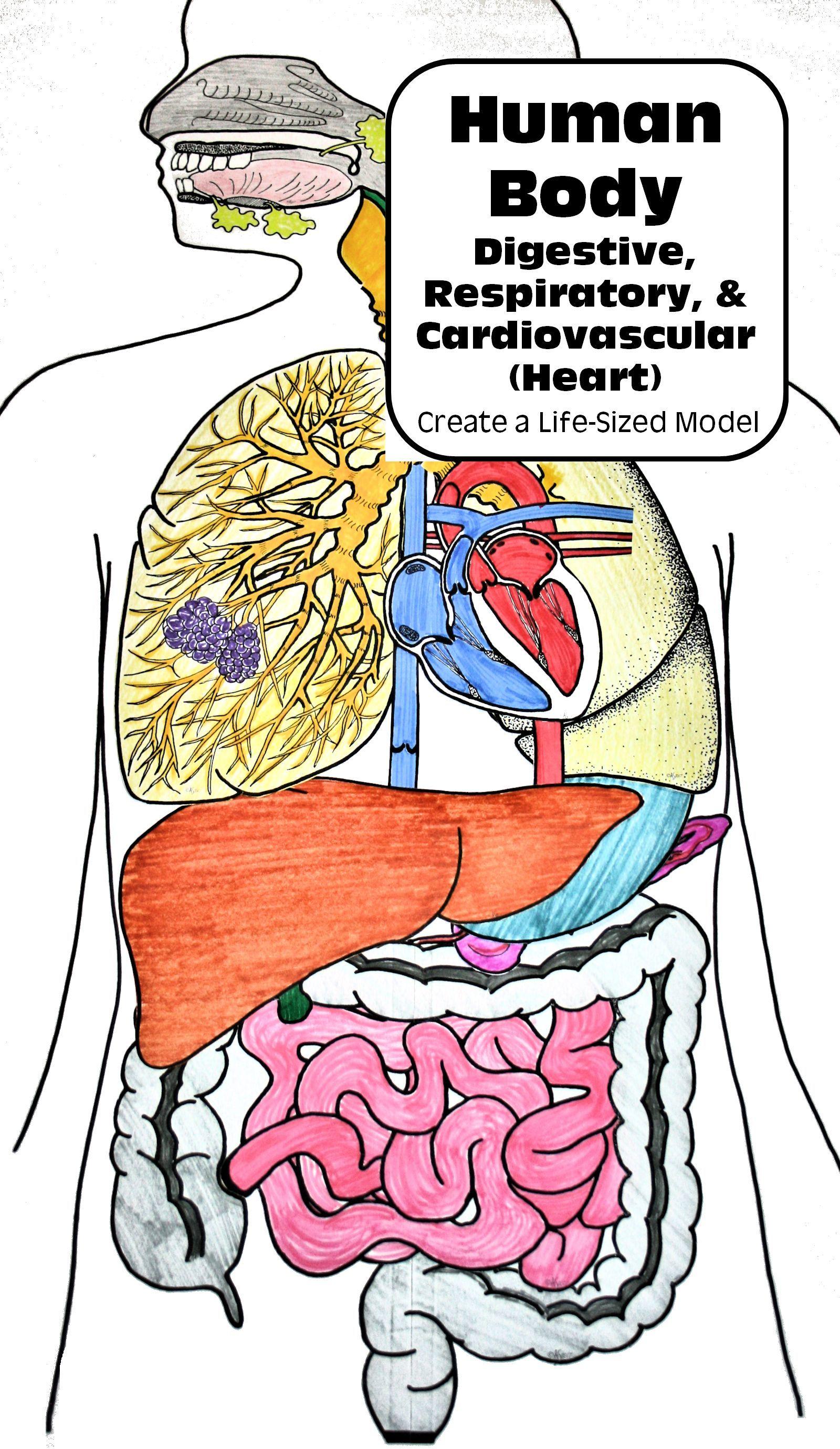 Human Body Systems Life-Sized: Digestive, Respiratory ...