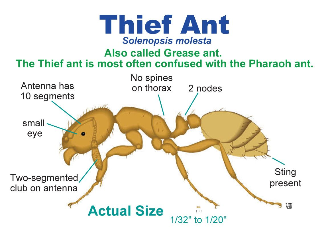 Uwl Website With Images Insect Species How To Get Rid Pharaoh Ants