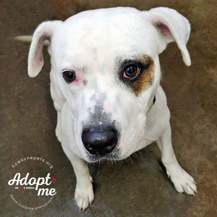 Adopt Pinky On American Bulldog Mix Dog List Pet Adoption