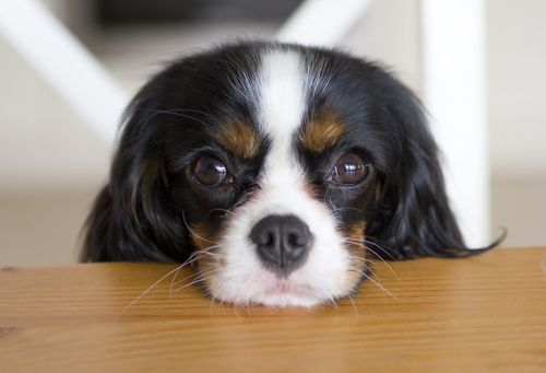 Here S How To Really Calculate Your Pet S Age Dogs Trust Anxious Dog Cavalier King Charles Spaniel