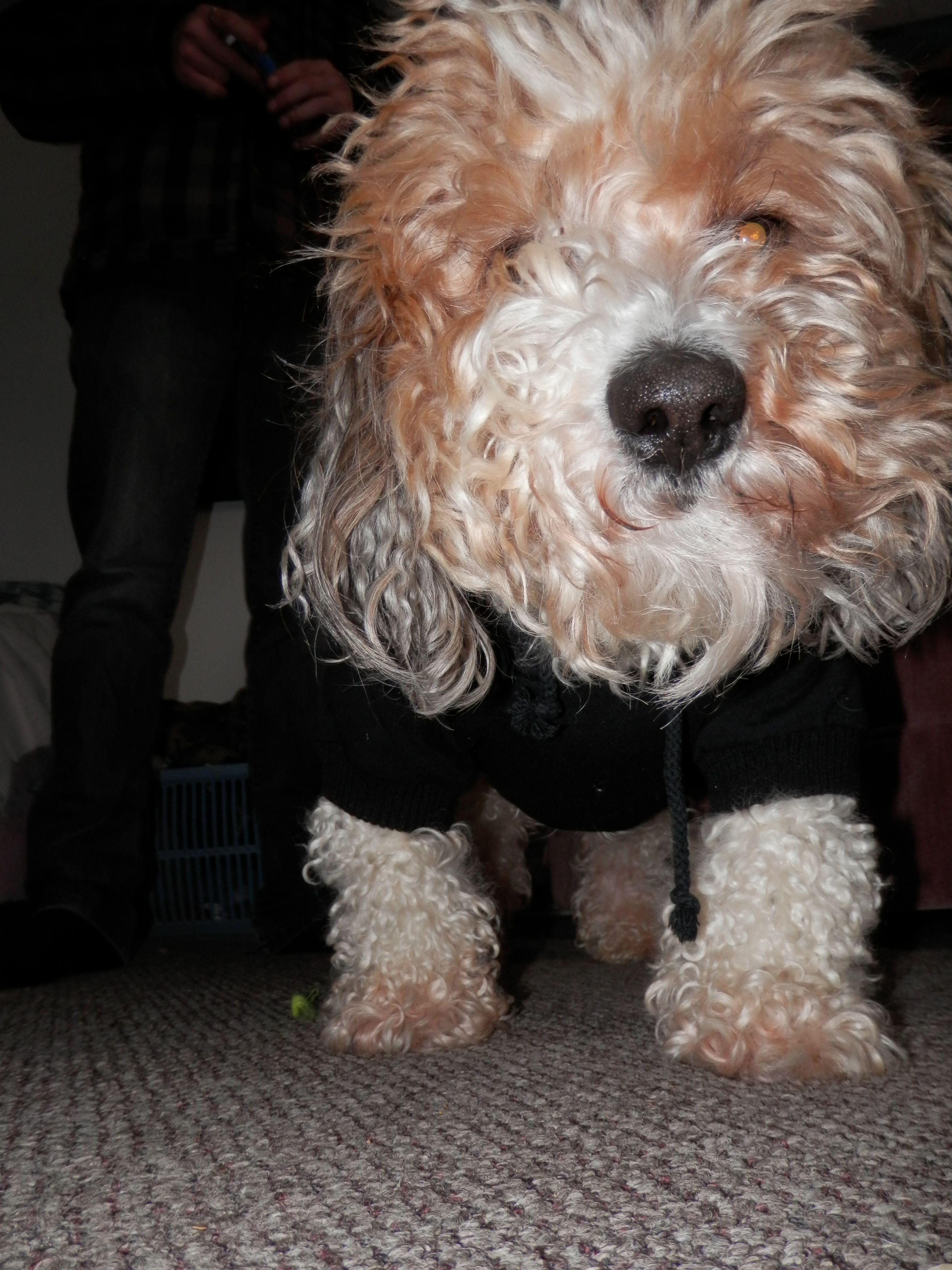 Bichon Frise/Shih Tzu. Wearing a sweater = Adorable. Teddy Bear Dog