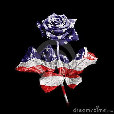 american flag rose   American Rose Royalty Free Stock Image