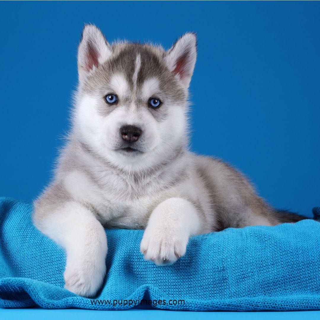 Cute Gray Siberian Husky Puppy Husky Puppy Siberian Husky